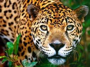 Azul-Ambientalistas-Animales-en-Peligro-de-Extincion-en-Venezuela-02-Jaguar