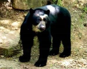 Azul-Ambientalistas-Animales-en-Peligro-de-Extincion-en-Venezuela-03-Oso-Frontino