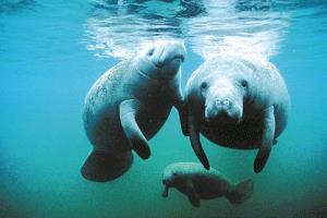 Azul-Ambientalistas-Animales-en-Peligro-de-Extincion-en-Venezuela-04-Manati