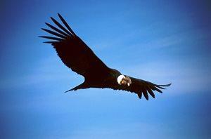Azul-Ambientalistas-Animales-en-Peligro-de-Extincion-en-Venezuela-06-Condor