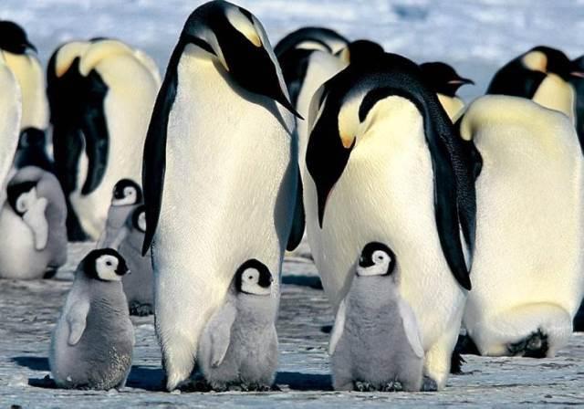 Azul-Ambientalistas-El-Pinguino-Emperador-el-mejor-padre-del-Reino-Animal