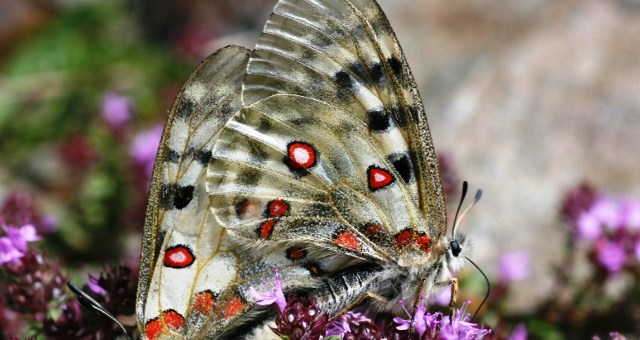 Azul-Ambientalistas-Las-Mariposas-son-Vulnerables-al-Cambio-Climatico