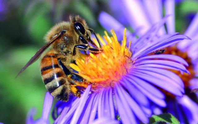 Azul-Ambientalistas-La-abeja-cruza-la-linea-roja-de-la-extincion